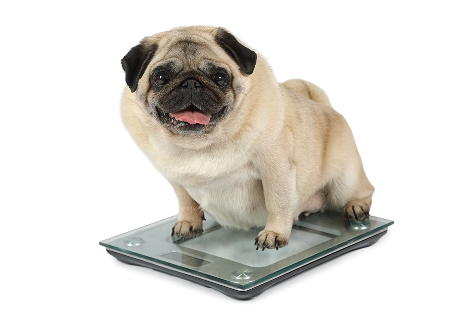 New Study Finds Overweight Dogs Live Shorter Lives